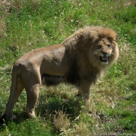 Africa Alive - African Lion