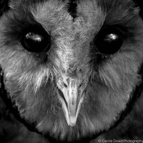 Ashy Faced Owl face detail b&w