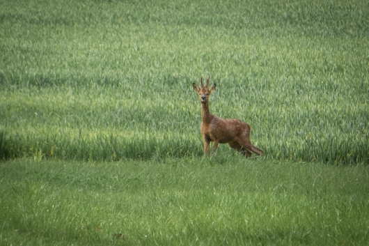 French Deer-2