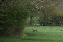 French Deer-4