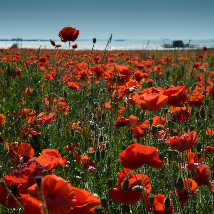 Poppies By the Sea La Rochelle France