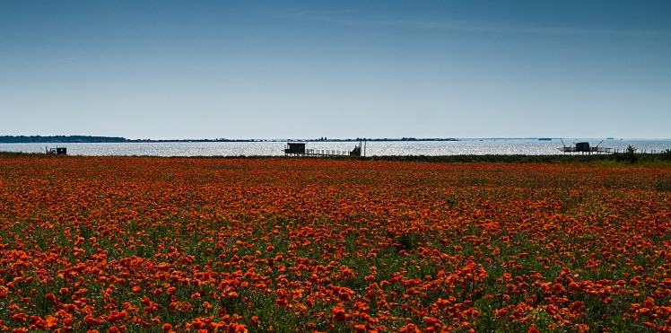 Poppies By the Sea La Rochelle France1
