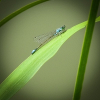 Common Blue Dameselfly_